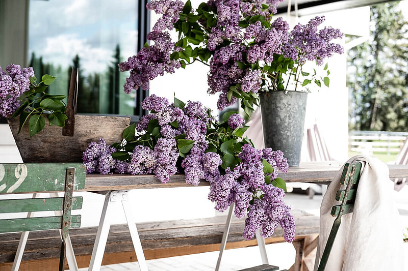 Purple Lilac bunches on outdoor patio table