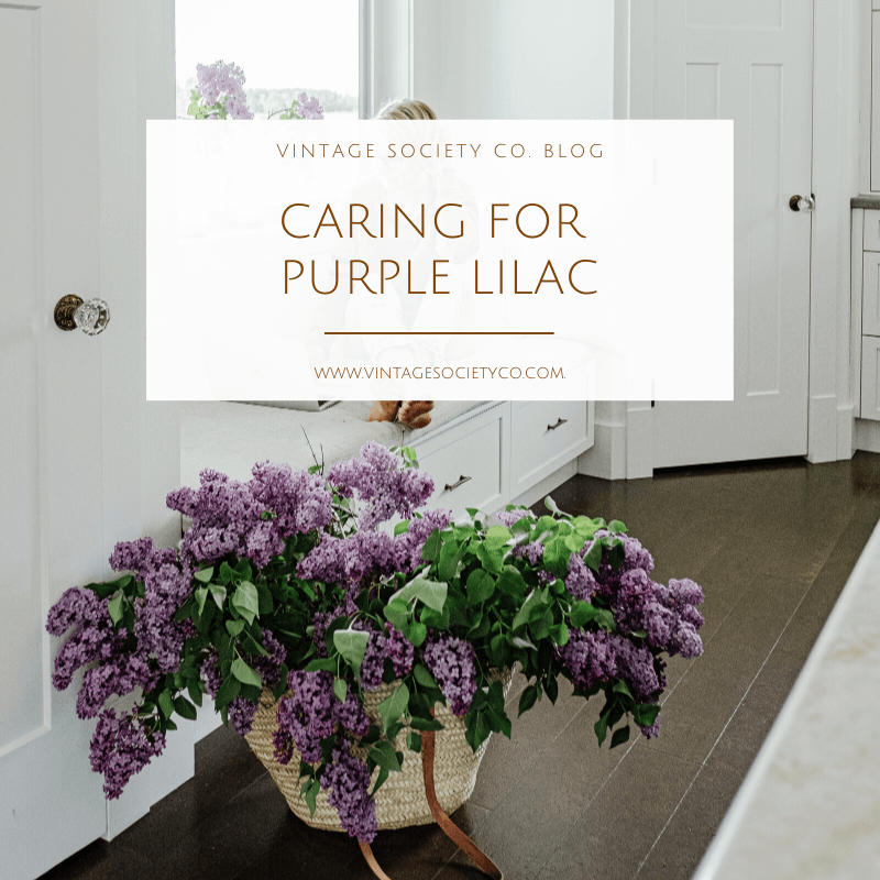 caring for purple lilacs